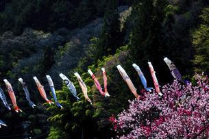 鯉のぼりと桃の花の写真素材 [FYI04865683]