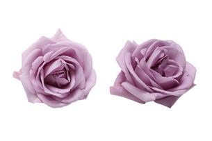 ピンク色の薔薇の花首の写真素材 [FYI04865734]