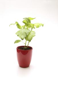 赤い植木鉢に植えた大葉の写真素材 [FYI04865736]