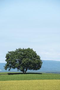 夏の緑の畑に立つ木立の写真素材 [FYI04865766]
