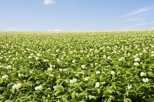 白い花が満開のジャガイモ畑の写真素材 [FYI04865772]