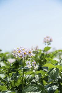 薄紫のジャガイモの花の写真素材 [FYI04865774]