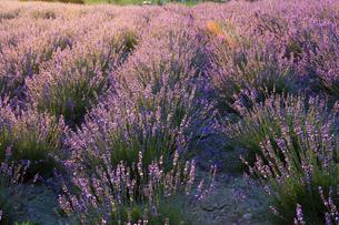 夕日を浴びて輝くラベンダー畑の写真素材 [FYI04865777]
