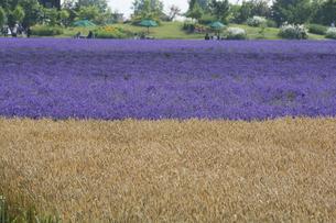 色づいたムギ畑とラベンダー畑の写真素材 [FYI04865788]