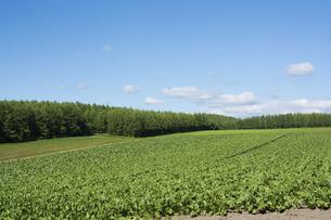 緑の野菜畑と青空の写真素材 [FYI04865791]