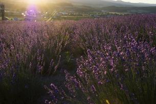 夕日に輝くラベンダー畑の写真素材 [FYI04865793]