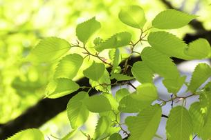 ケヤキの新緑の写真素材 [FYI04865850]