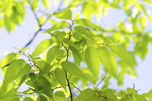 ケヤキの新緑の写真素材 [FYI04865851]