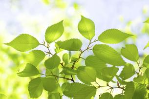 ケヤキの新緑の写真素材 [FYI04865873]