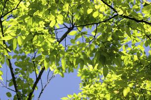 ケヤキの新緑の写真素材 [FYI04865874]