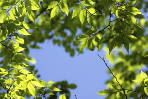 ケヤキの新緑の写真素材 [FYI04865875]