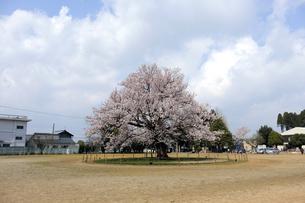 味真野小学校の桜の写真素材 [FYI04865983]