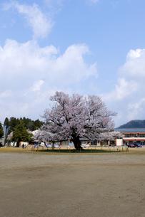 味真野小学校の桜の写真素材 [FYI04865984]