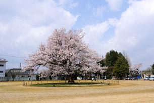 味真野小学校の桜の写真素材 [FYI04865985]