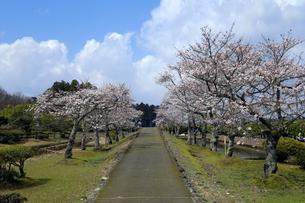 味真野園の桜の写真素材 [FYI04865988]