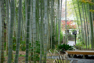 修善寺温泉の竹林の小径と紅葉の写真素材 [FYI04866047]