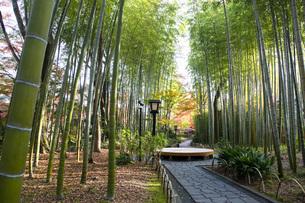修善寺温泉の竹林の小径と紅葉の写真素材 [FYI04866060]