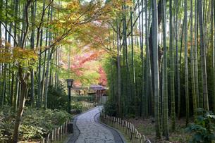 修善寺温泉の竹林の小径と紅葉の写真素材 [FYI04866065]