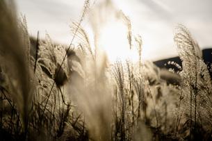 西陽に輝く仙石原の穂芒の写真素材 [FYI04866070]