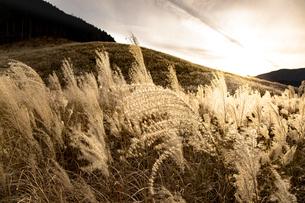 西陽に輝く仙石原の穂芒の写真素材 [FYI04866073]