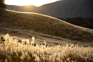 西陽に輝く仙石原の穂芒の写真素材 [FYI04866075]