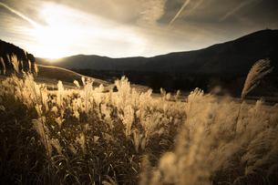 西陽に輝く仙石原の穂芒の写真素材 [FYI04866086]