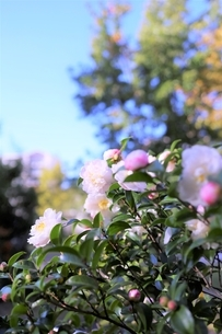 白い山茶花の咲く頃の写真素材 [FYI04866129]