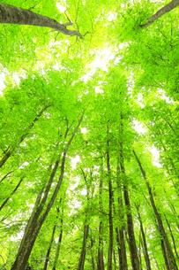 ブナの森の写真素材 [FYI04866423]