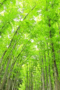 ブナの森の写真素材 [FYI04866424]
