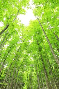ブナの森と空の写真素材 [FYI04866425]