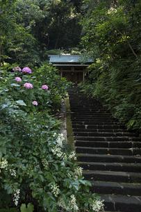 甘縄神明宮の紫陽花の写真素材 [FYI04866465]