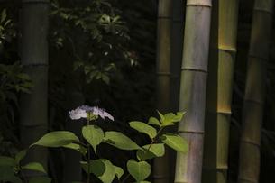 長谷寺の紫陽花と孟宗竹の写真素材 [FYI04866470]
