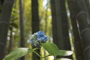 報国寺の竹林に咲く一輪の紫陽花の写真素材 [FYI04866473]