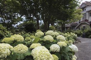 浄妙寺から続く石窯ガーデンテラスの紫陽花の写真素材 [FYI04866475]