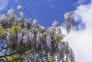 青空の下に咲く藤の花の写真素材 [FYI04866857]