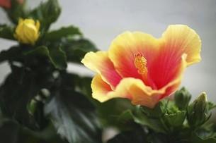 ハイビスカス・オレンジ色の花の写真素材 [FYI04866979]