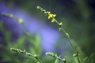 山野草・キンミズヒキの花の写真素材 [FYI04866988]
