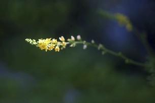 山野草・キンミズヒキの花の写真素材 [FYI04867059]