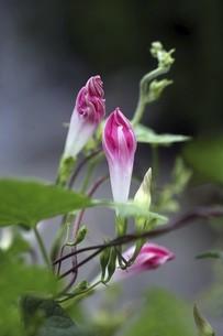 開花を待つ夜明けの朝顔の写真素材 [FYI04867064]