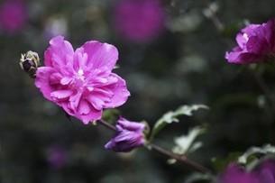 ムクゲ・半八重咲きの花の写真素材 [FYI04867066]