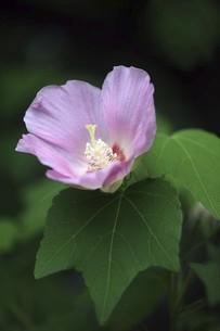 秋まで咲くフヨウの花の写真素材 [FYI04867067]