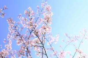 春に揺らめく桜花(染井吉野)の写真素材 [FYI04867153]