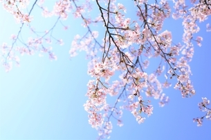 春に揺らめく桜花(染井吉野)の写真素材 [FYI04867154]