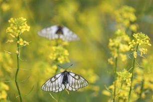 菜の花にとまるウスバシロチョウの写真素材 [FYI04867280]