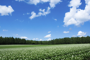 ジャガイモ畑と夏空の写真素材 [FYI04867429]