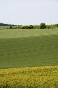 緑の麦畑の写真素材 [FYI04867433]