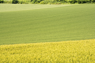 緑のムギ畑の写真素材 [FYI04867434]