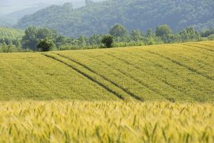 夏の緑のムギ畑の写真素材 [FYI04867435]