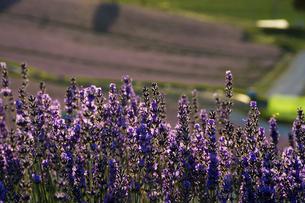 太陽の光を浴びて輝くラベンダーの花の写真素材 [FYI04867436]