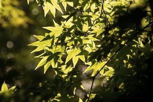 新緑のモミジの葉の写真素材 [FYI04867441]